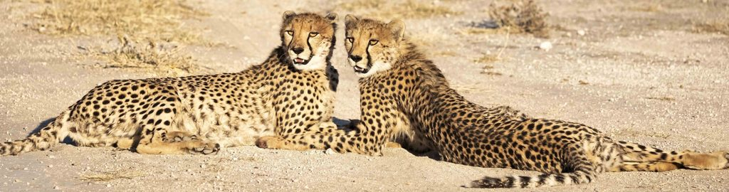 Cheetahs in late afternoon sun after kill, Namibia